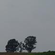 美瑛の丘 親子の木